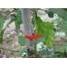 Лента для подвязки растений Sakuma SC-8801-2 (30м, красная), Sakuma SC-8801-2 (30м, красная), Лента для подвязки растений Sakuma SC-8801-2 (30м, красная) фото, продажа в Украине